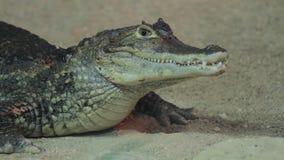 Small crocodile in aquarium stock footage