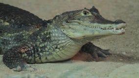 Small crocodile in aquarium stock video