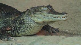 Small crocodile in aquarium stock video footage