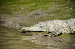 SMALL CROCODILE ENTERS THE WATER Royalty Free Stock Images