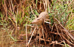 Small crocodile laying on pile of reeds Royalty Free Stock Photos