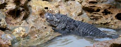 Small crocodile Stock Photography