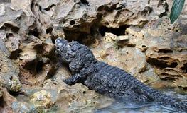 Small crocodile Royalty Free Stock Image