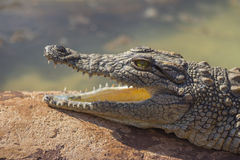 Small Crocodile With Mouth Open 1 Royalty Free Stock Photography