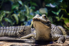 Small crocodile. In a terrarium with a heated backlight. Close-up Royalty Free Stock Photo