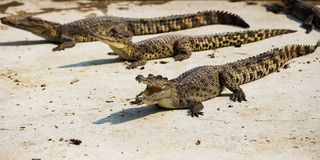 Small crocodiles Stock Photography