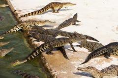 Small crocodiles Stock Images