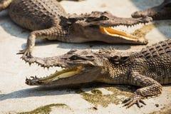 Small crocodiles Royalty Free Stock Photography