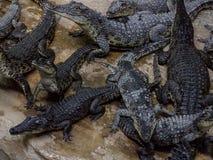 Small crocodiles in a terrarium Stock Photos