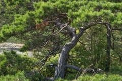 Green crook pine tree. Small crooked green pine tree Stock Photos