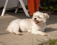 Small crossbreed dog laying on the ground. A small crossbreed shih tzu / chihuahua dog laying and resting on the ground stock images