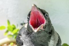 Small crow with an open mouth asks to eat and drink. the concept of care for the offspring stock photos