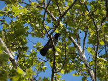 Small crow standing on a branch Stock Image