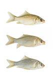 Small crucian collection isolated Royalty Free Stock Photos