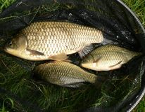 Small crucians. On landing net Royalty Free Stock Photography
