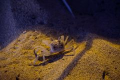 A small crustacean on the beach. In the sand in Thailand stock photos