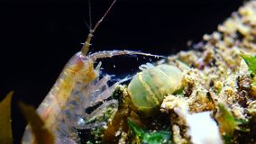 A small crustacean of the genus Gammarus, caught by a small Actinia - an invader Diadumene lineata stock footage