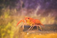 Small crustacean. Small crustacean on the bottom of the sea royalty free stock photography