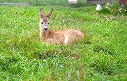 Small cub of a deer Royalty Free Stock Photography