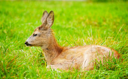 Small cub of a deer Stock Photography