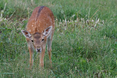 Small cub spotted deer Royalty Free Stock Photo