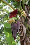 Small Cuban Banana Royalty Free Stock Photography