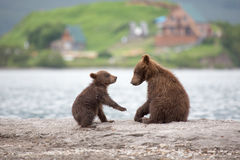 Small cubs playing on the lake Royalty Free Stock Image