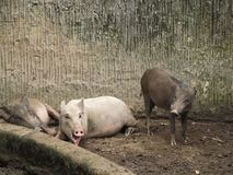 Small cubs of wild boars on a farm or in a zoo in poor maintenance royalty free stock photography