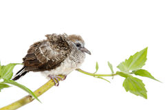 Small Cuckoo Perched on a Tree Branch Royalty Free Stock Image