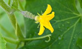 Small cucumber with flower Stock Photo