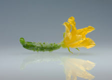 Small cucumber and flower. Small cucumber with flower, on reflective plane Royalty Free Stock Photos