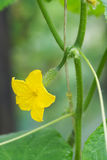 Small cucumber and flower on a branch. Stock Photo