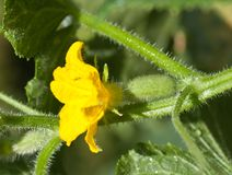 Small cucumber with flower and tendrils Royalty Free Stock Images
