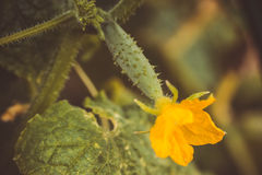 Small cucumber gherkin with its big yellow flower. Grows on the bush stock photography