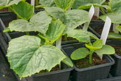 Small cucumber plants grown in pots Royalty Free Stock Images