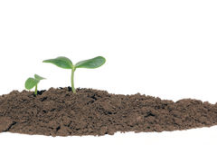Small cucumber seedling. A cucumber seedling in the ground, isolated Stock Photography