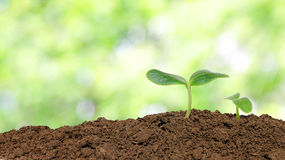 Small cucumber seedling Royalty Free Stock Photo