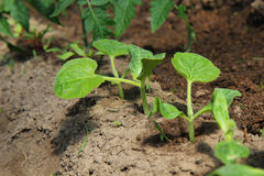 Small cucumber seedling Stock Images