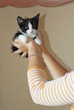Small and cuddly kitten. Royalty Free Stock Image
