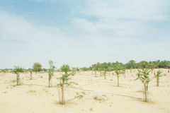 Small cultivated trees in the desert Royalty Free Stock Photography