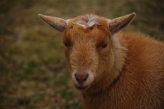 Small, cure short hair brown sheep with eyes staring into the camera. Young, headshot, field, green stock photos