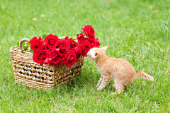 Small curiosity cat. With rose outdoor royalty free stock images