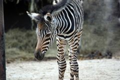 Small Baby Chapman`s Zebra royalty free stock images