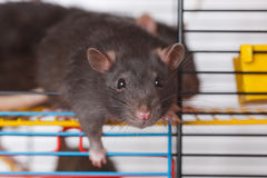 Small curious black rat Stock Images
