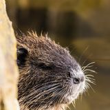 Small curious coypu looking from behind the stone stock photography