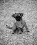 Small curious dog. Small dog on black&white background Stock Images
