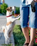 A small curious dog jack russell terrier looks or asks for something owner or person, standing on its hind legs outside. At summer sunny day royalty free stock images