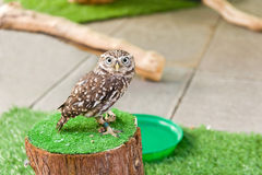 Small curious owl Royalty Free Stock Photos