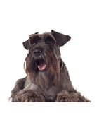 Small curious Schnauzer Stock Image