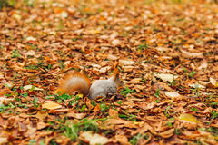 Small curious squirrel on a fall autumn leaves Royalty Free Stock Image
